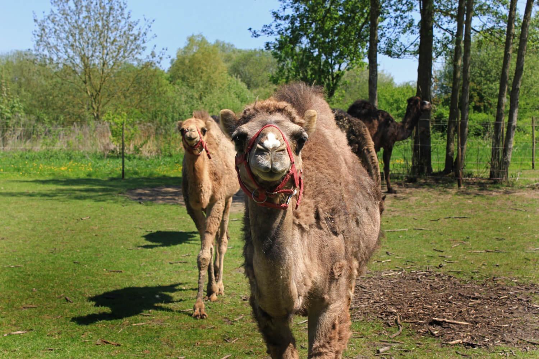 Roomers Baden-Baden Kamel und Strauß Farm